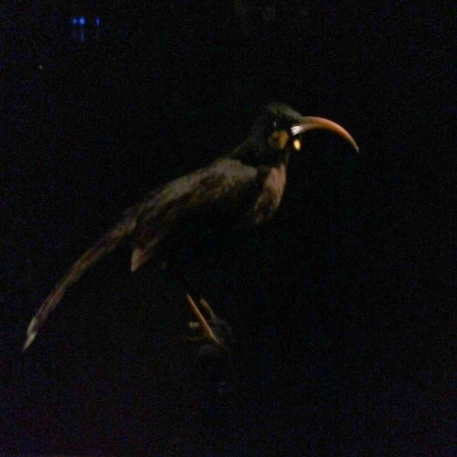 huia, in the gallery of extinct and endangered species